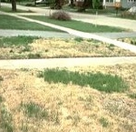 Zoysiagrass Royal Gardens Landscaping