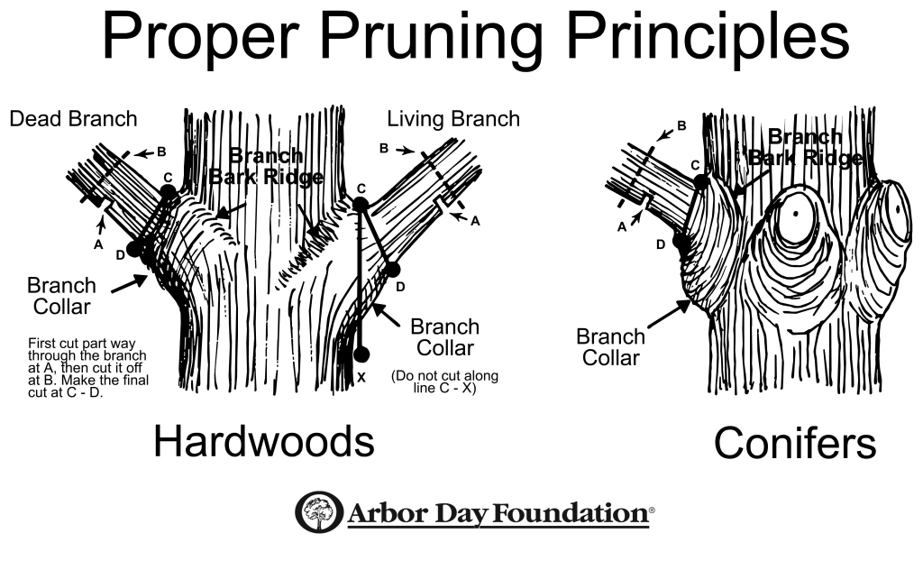 Proper-Tree-Pruning principles arbor day foundation